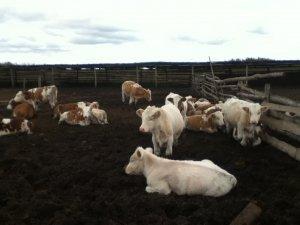 Продаем быков молодняк на откорм