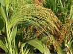 Продаем семена сорго сахарного, зернового, суданкового