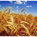 Семена озимой пшеницы, озимого тритикале