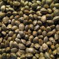 Покупаем семена конопли