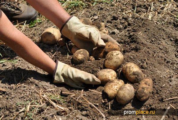 Удобрение картофеля ДАФК