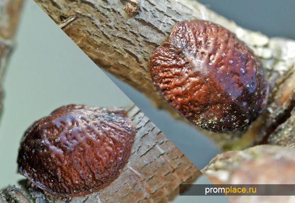 Кармин получают из карминовой кислоты, выделяемой насекомыми