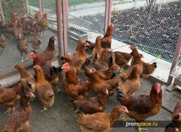 Подкормка куриц селенитом