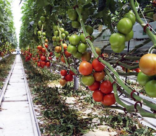 Руководство По Выращивания Овощей В Теплицах